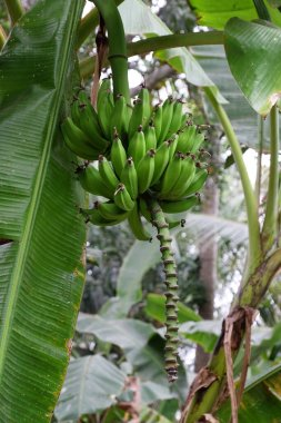Banana tree with a bunch of bananas in Kumrokhali, West Bengal, India