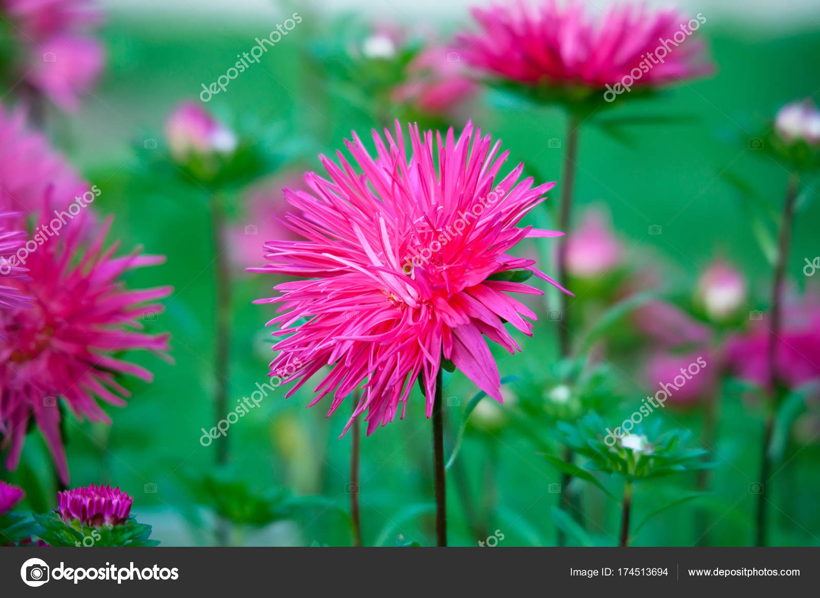 Bright Pink Aster Flower On A Flowerbed In A Park Stock Photo