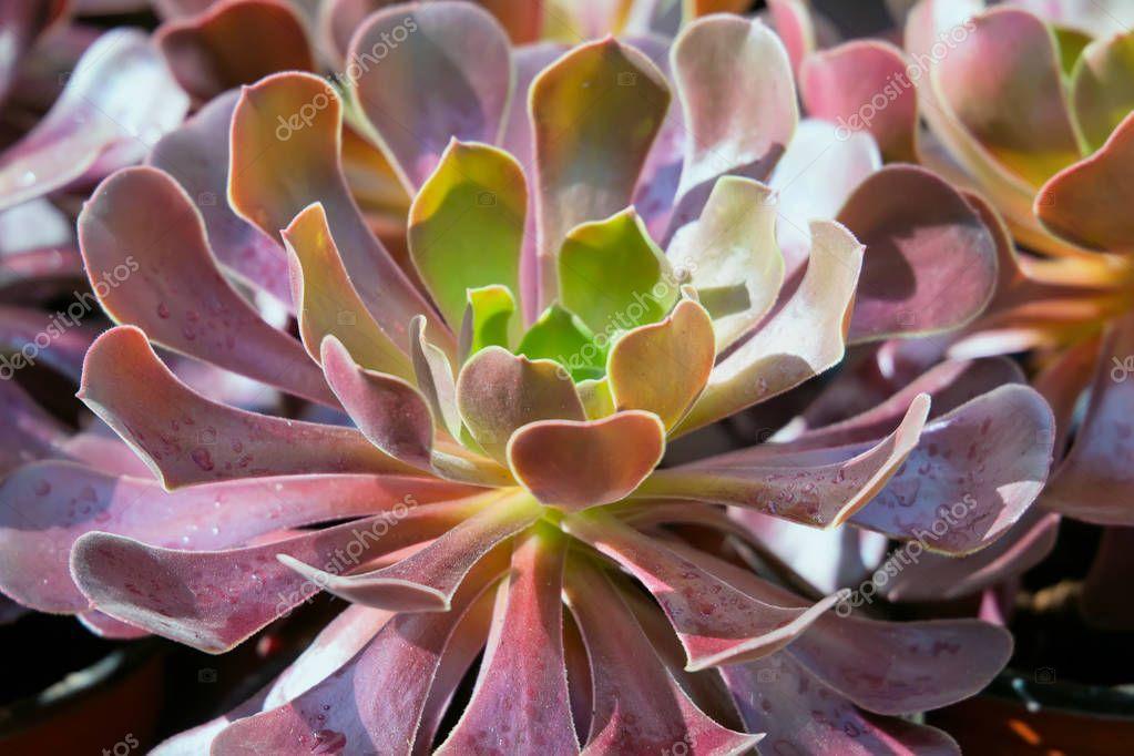 Closeup of Aeonium succulent plant.
