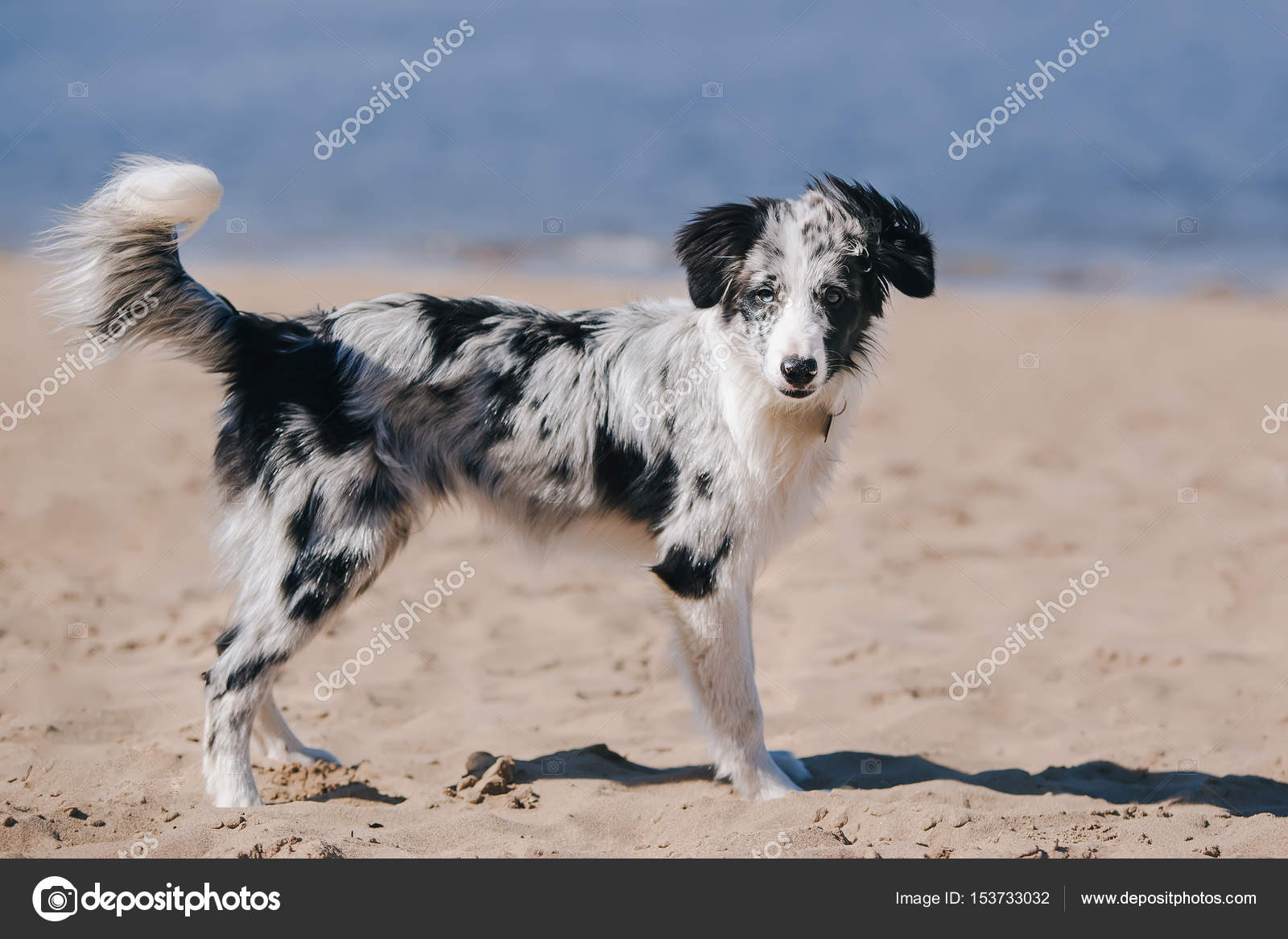 Adorable Cute Blue Merle Border Collie Puppy On The Beach Standing And Looking At The Camera Stock Photo C Bezzznika 153733032