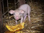 Photo Just a Piggy farm