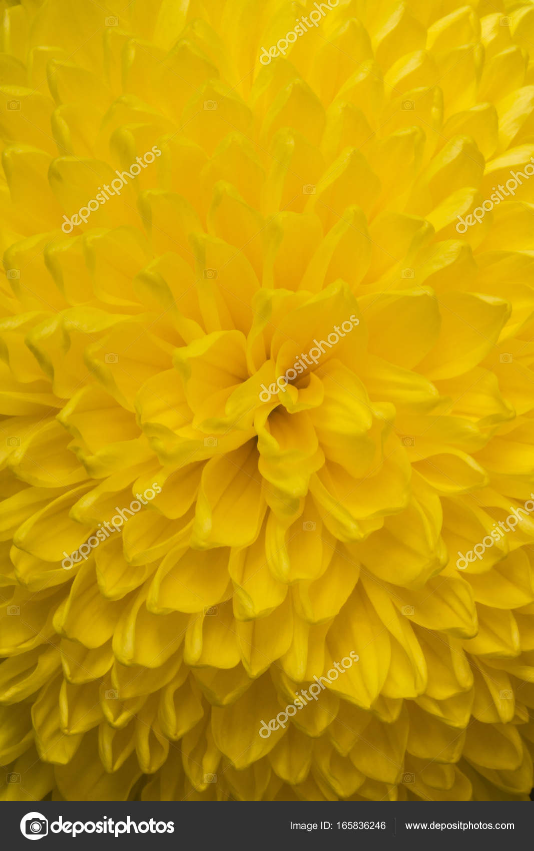Close Up Of Yellow Aster Flower Aster With Yellow Petals And