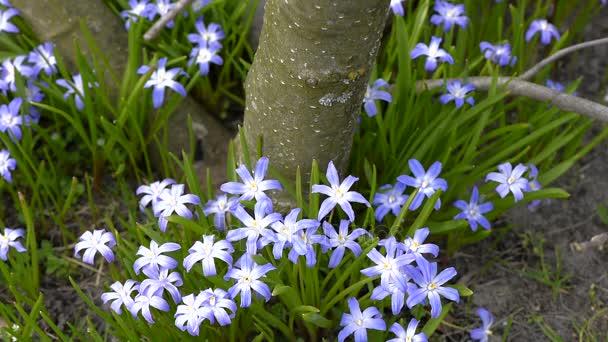 Modrá jarní petrklíče kvetou
