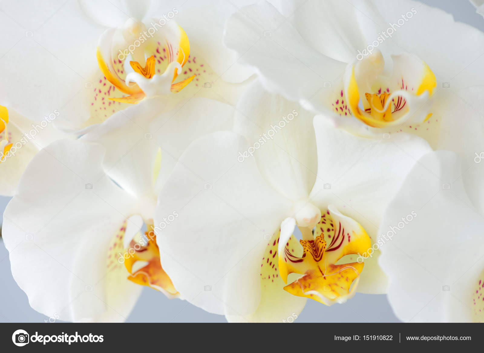 Large White Orchid Flowers Stock Photo Aviavlad3 151910822