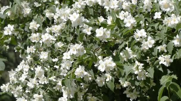 Jasmin Garten An Einem Sommertag Stockvideo Aviavlad3 156552070
