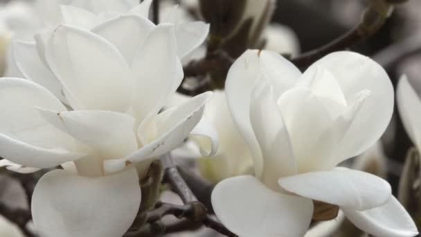 Bílá magnólie krásně kvést v botanické zahradě v jarní větrný den videoklip zastřelil closeup