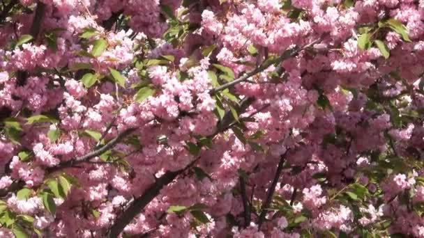 Krásné růžové sakura kvete v botanické zahradě v detail jara s zoom efekt