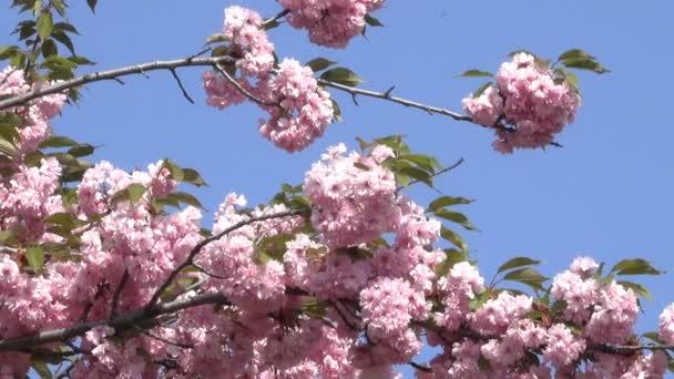 Gyönyörű rózsaszín sakura virágzik a botanikus kert a tavaszi közelről a zoom hatása
