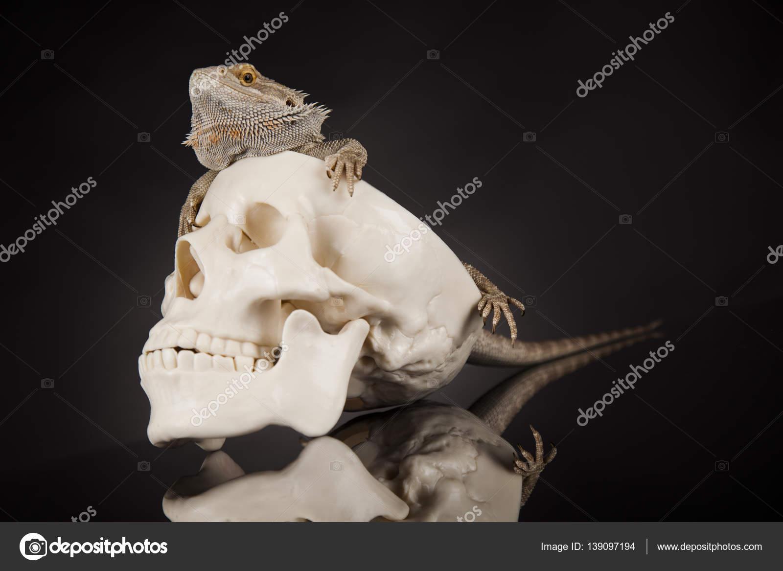 Eidechse mit menschlichen Schädel — Stockfoto © JanPietruszka #139097194