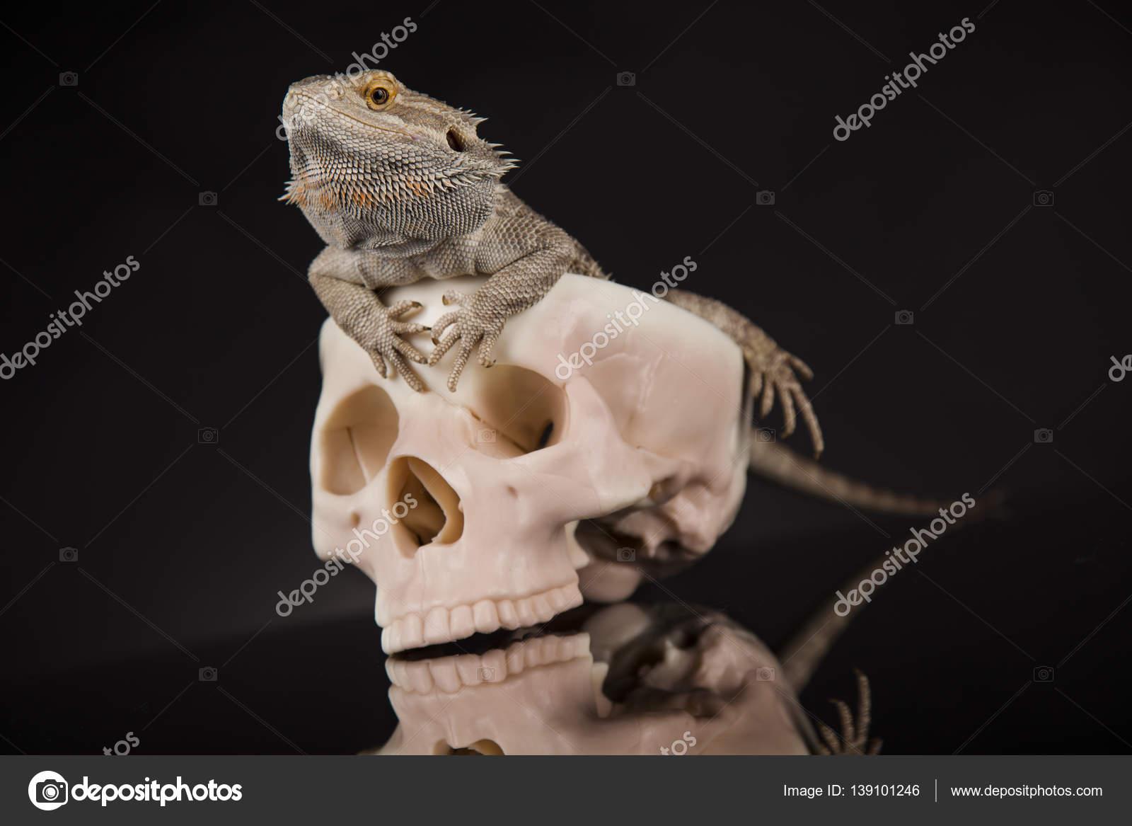 Eidechse mit menschlichen Schädel — Stockfoto © JanPietruszka #139101246