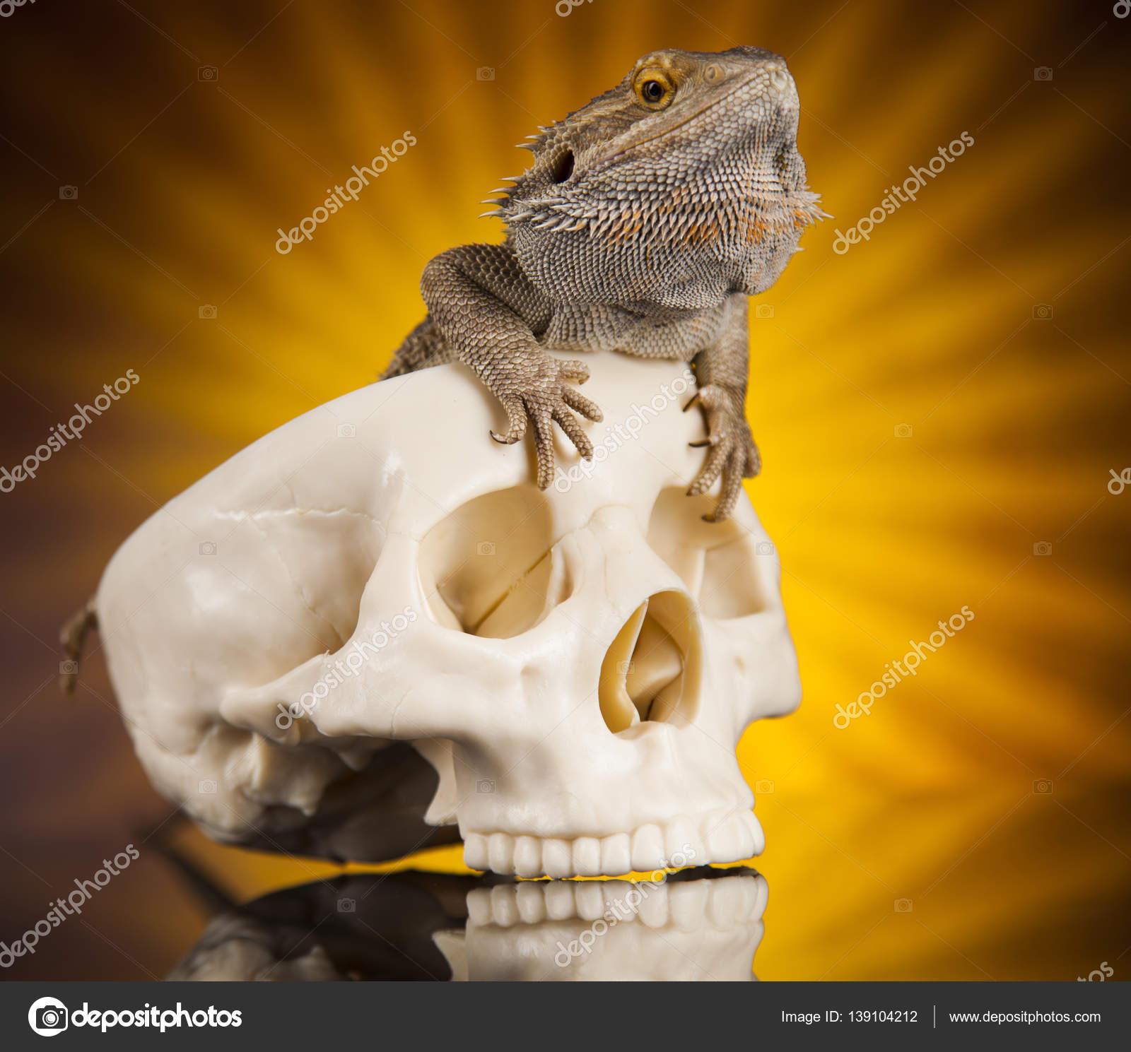 Eidechse mit menschlichen Schädel — Stockfoto © JanPietruszka #139104212