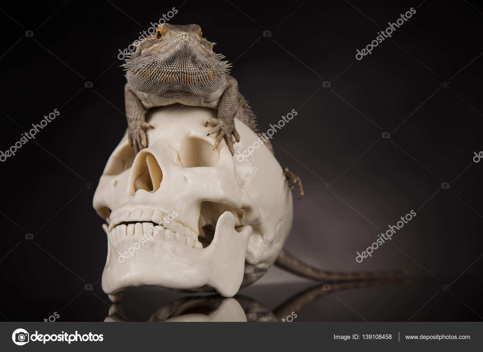 Eidechse mit menschlichen Schädel — Stockfoto © JanPietruszka #139108458