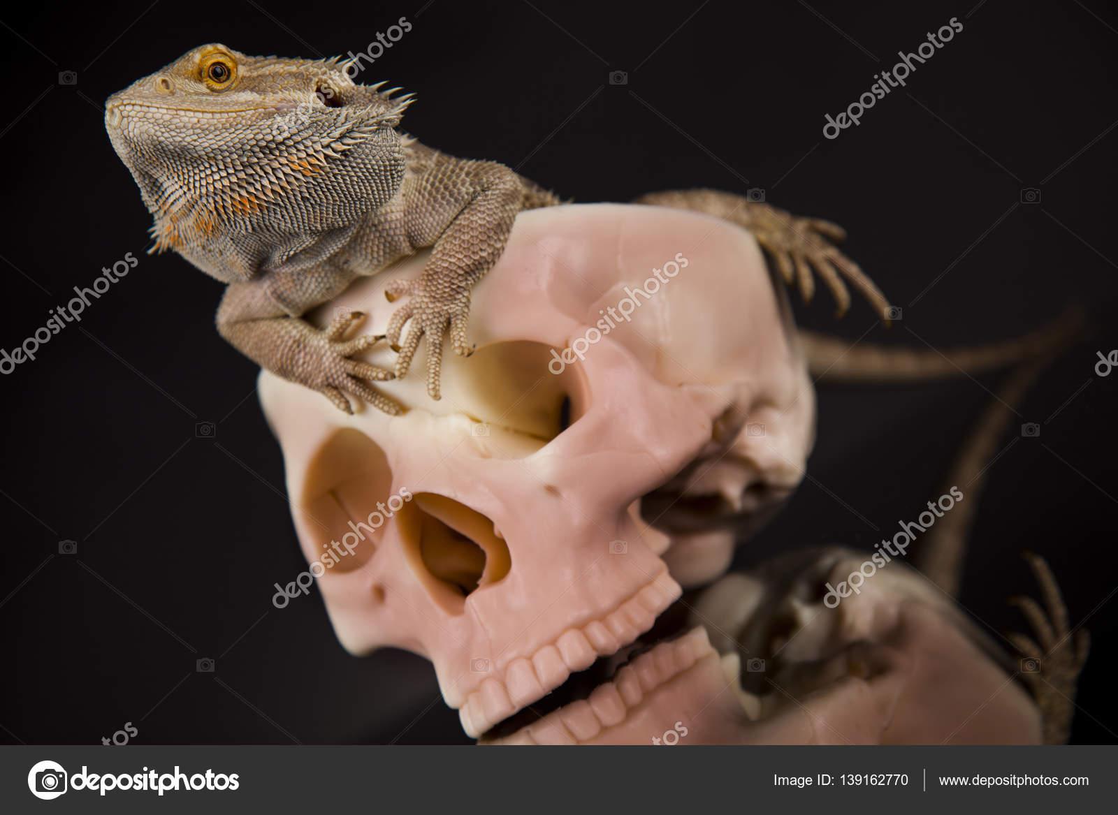 Eidechse mit menschlichen Schädel — Stockfoto © JanPietruszka #139162770