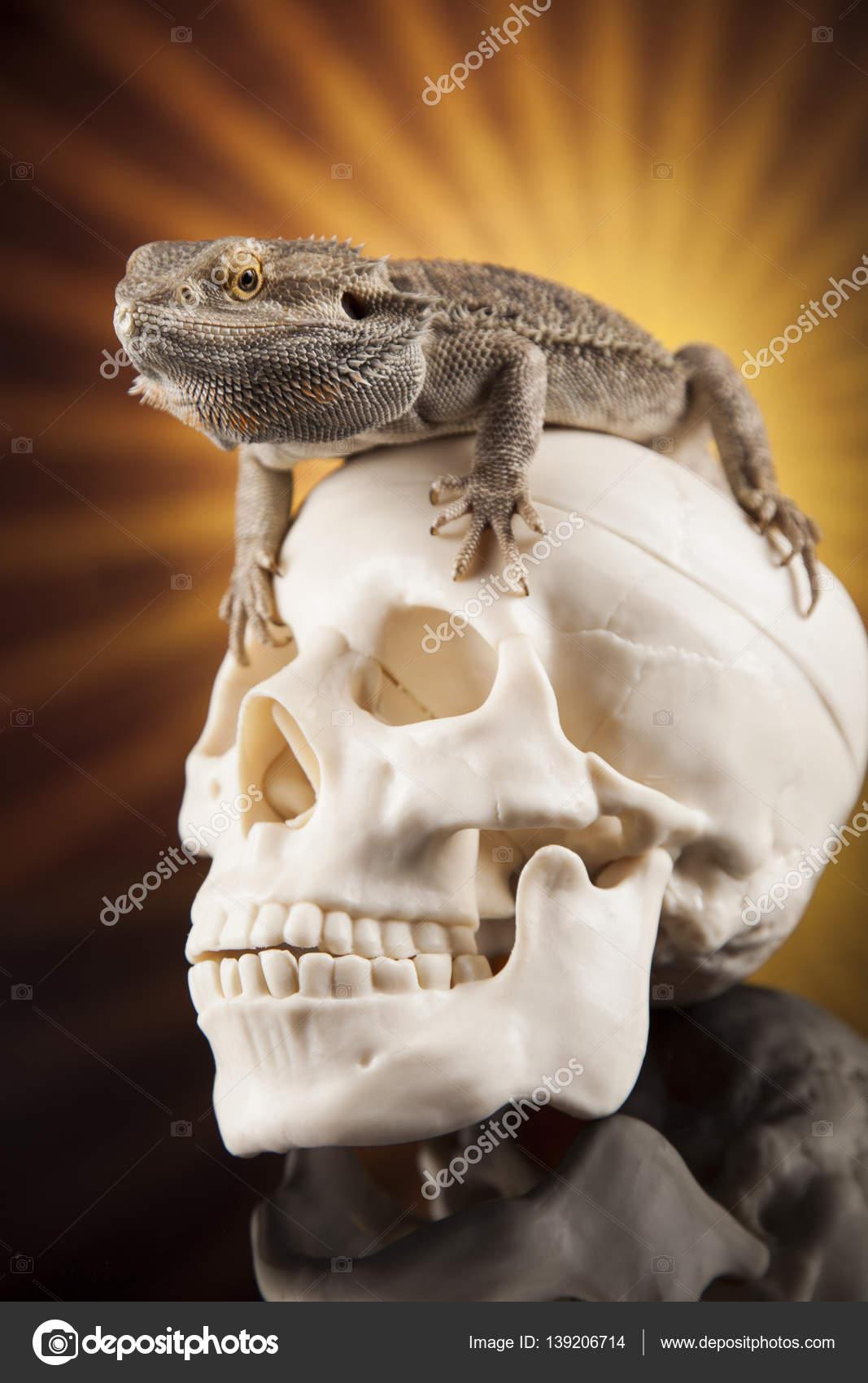Eidechse mit menschlichen Schädel — Stockfoto © JanPietruszka #139206714