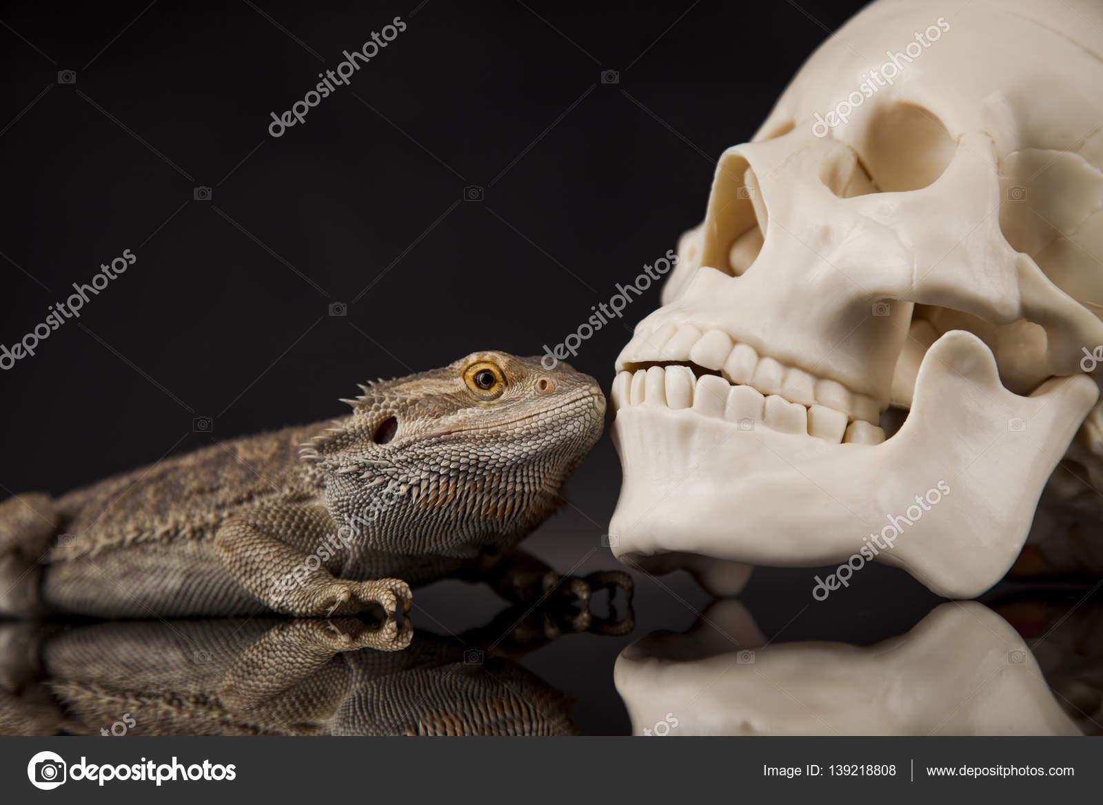 Agama Eidechse und Schädel — Stockfoto © JanPietruszka #139218808