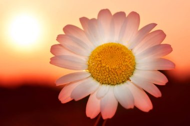 Daisy flower at sunset