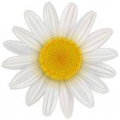 sedmikráska květ, samostatný