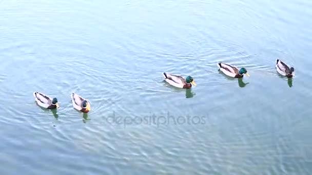 A tó kacsa
