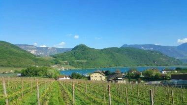 winery grape vines