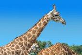 Nahaufnahme der Giraffe Schnauze