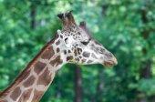 Close-up of giraffe snout