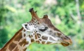 Detail části čenichu žirafa