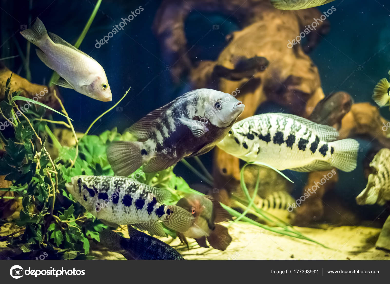 Colorful fish in aquarium — Stock Photo © furzyk73 #177393932