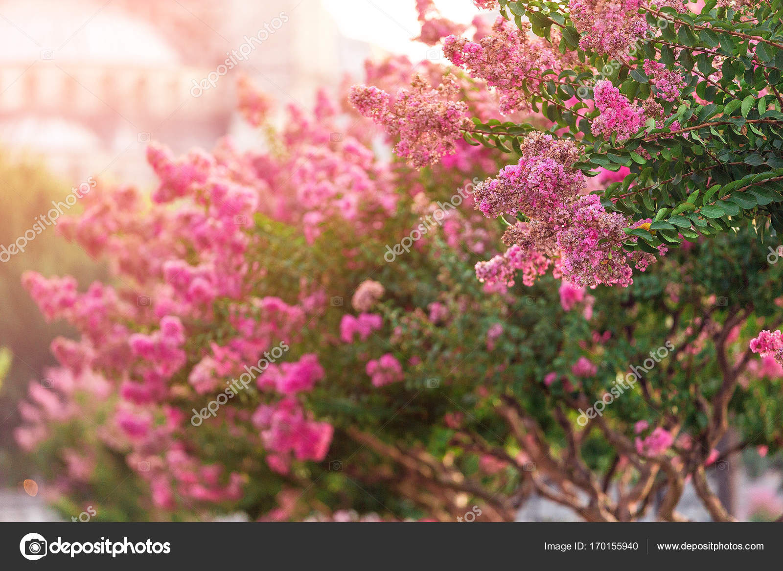 Blooming Magnolia Tree With Pink Flowers At Sultan Ahmet Square In