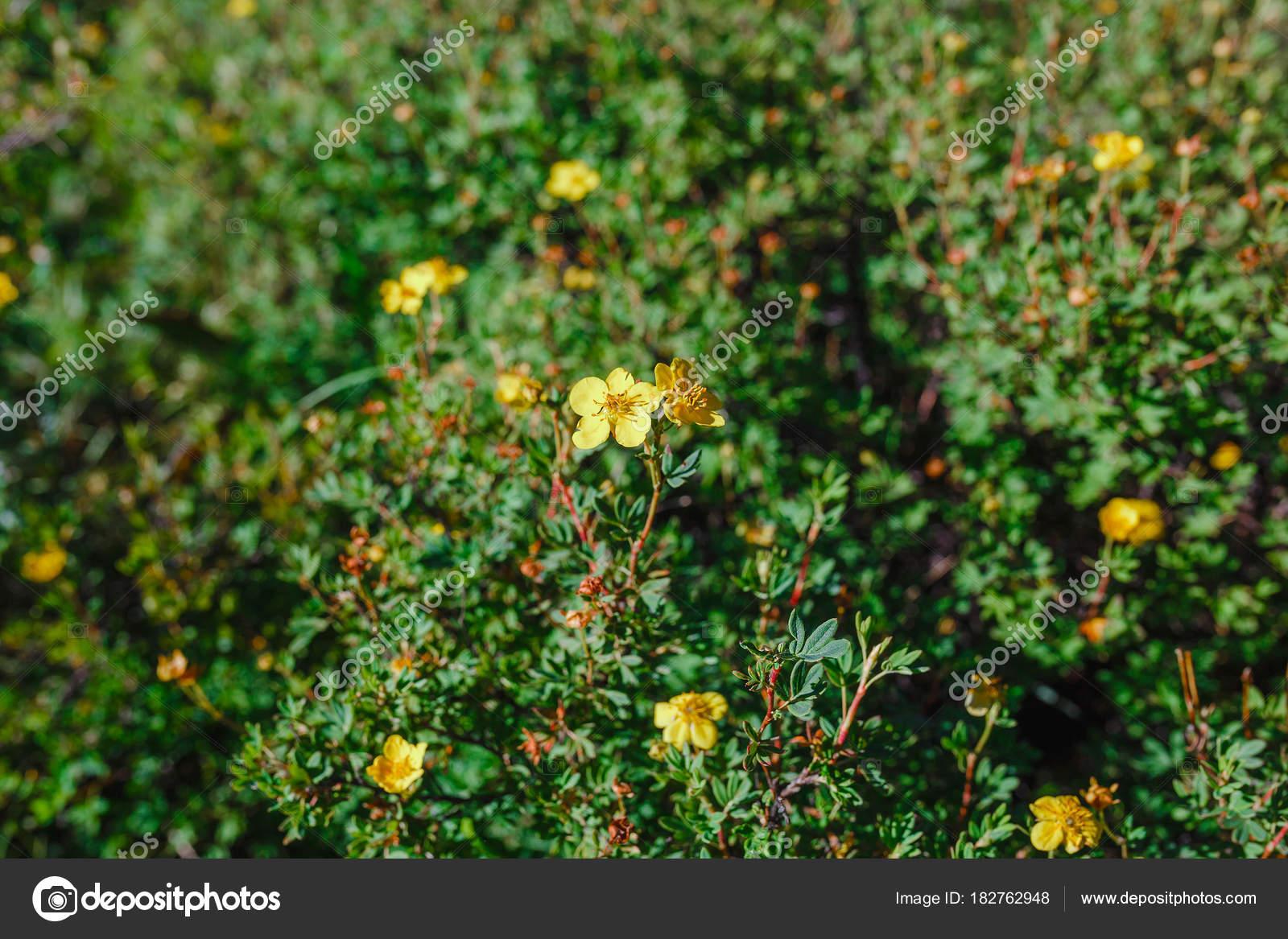 Yellow Flowering Wild Potentilla Shrub Stock Photo Frantic00