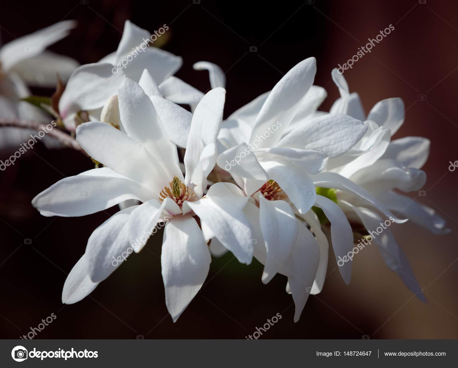 White Magnolia Flowers Stock Photo Palinchak 148724647