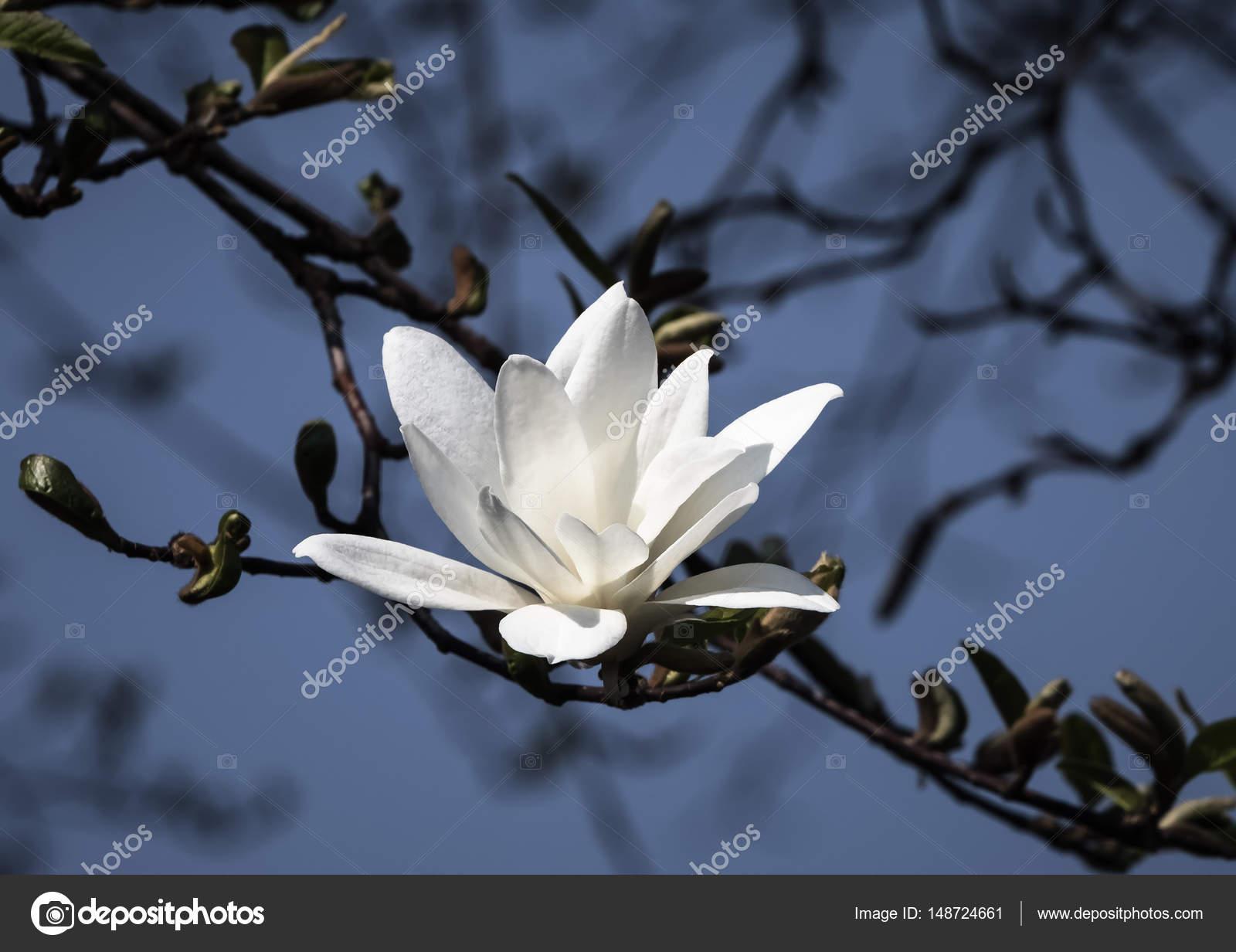 White Magnolia Flowers Stock Photo Palinchak 148724661