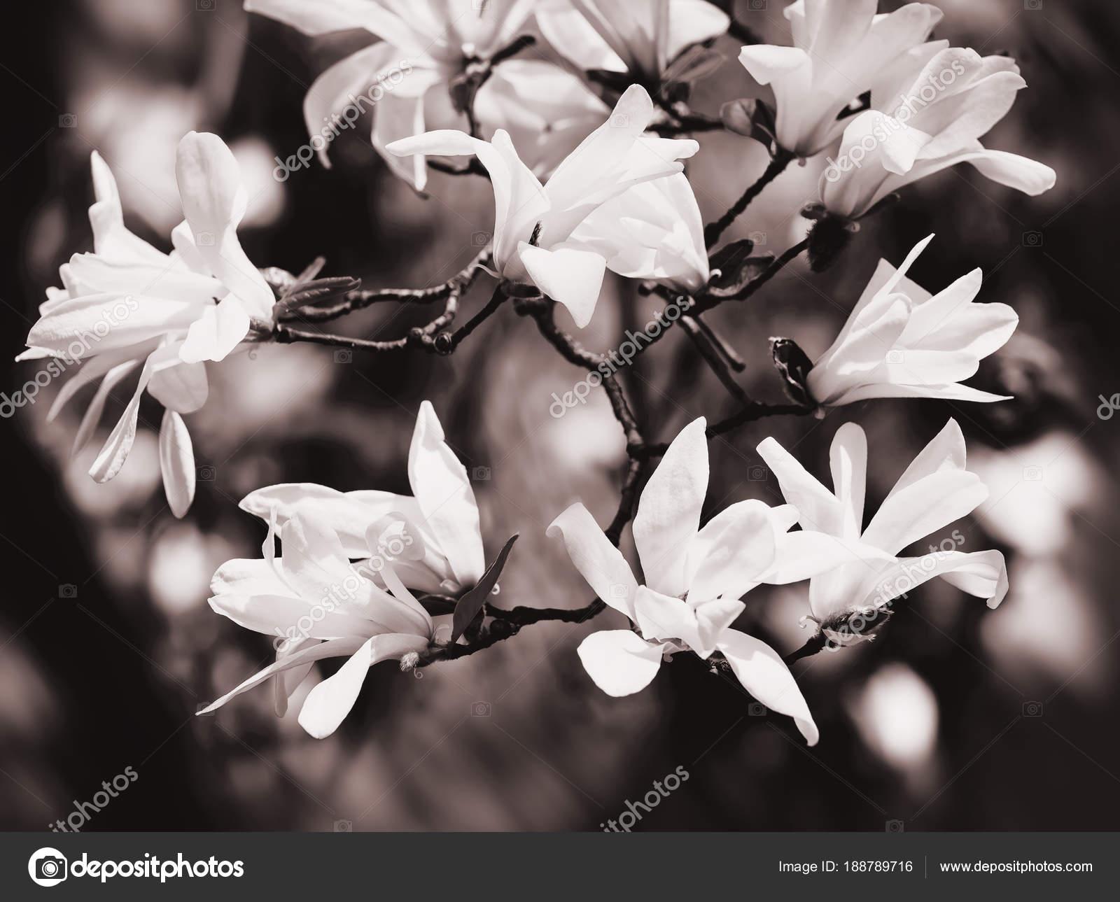 Magnolia Arvore Florescente Stock Photo C Palinchak 188789716