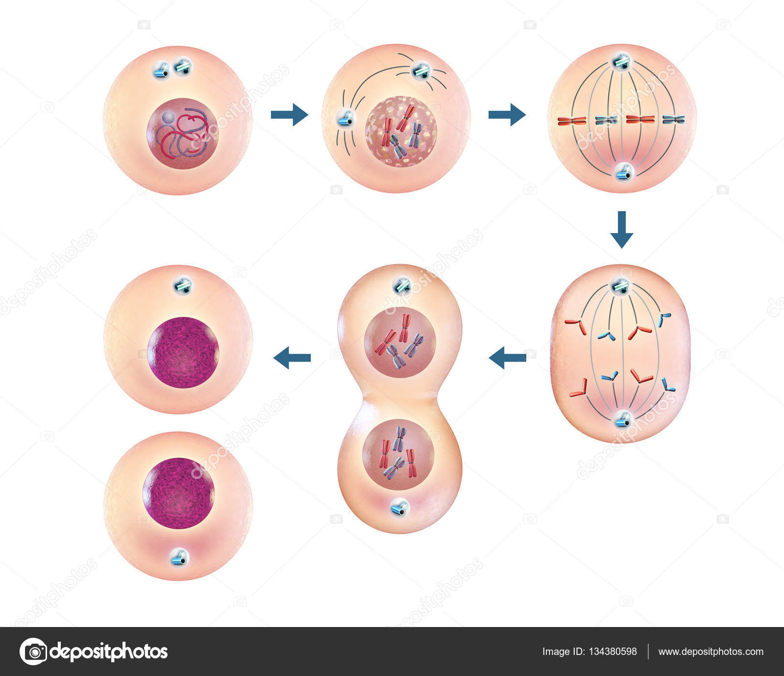 cellular mitosis steps � stock photo 169 andreus 134380598