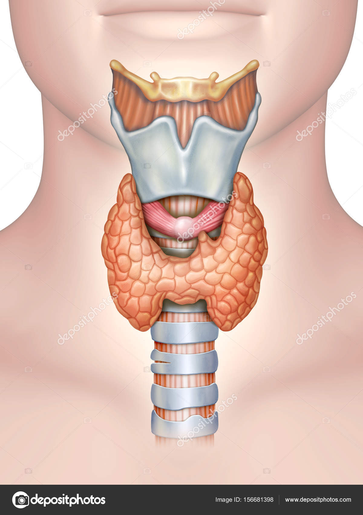 Anatomy of the thyroid gland — Stock Photo © Andreus #156681398