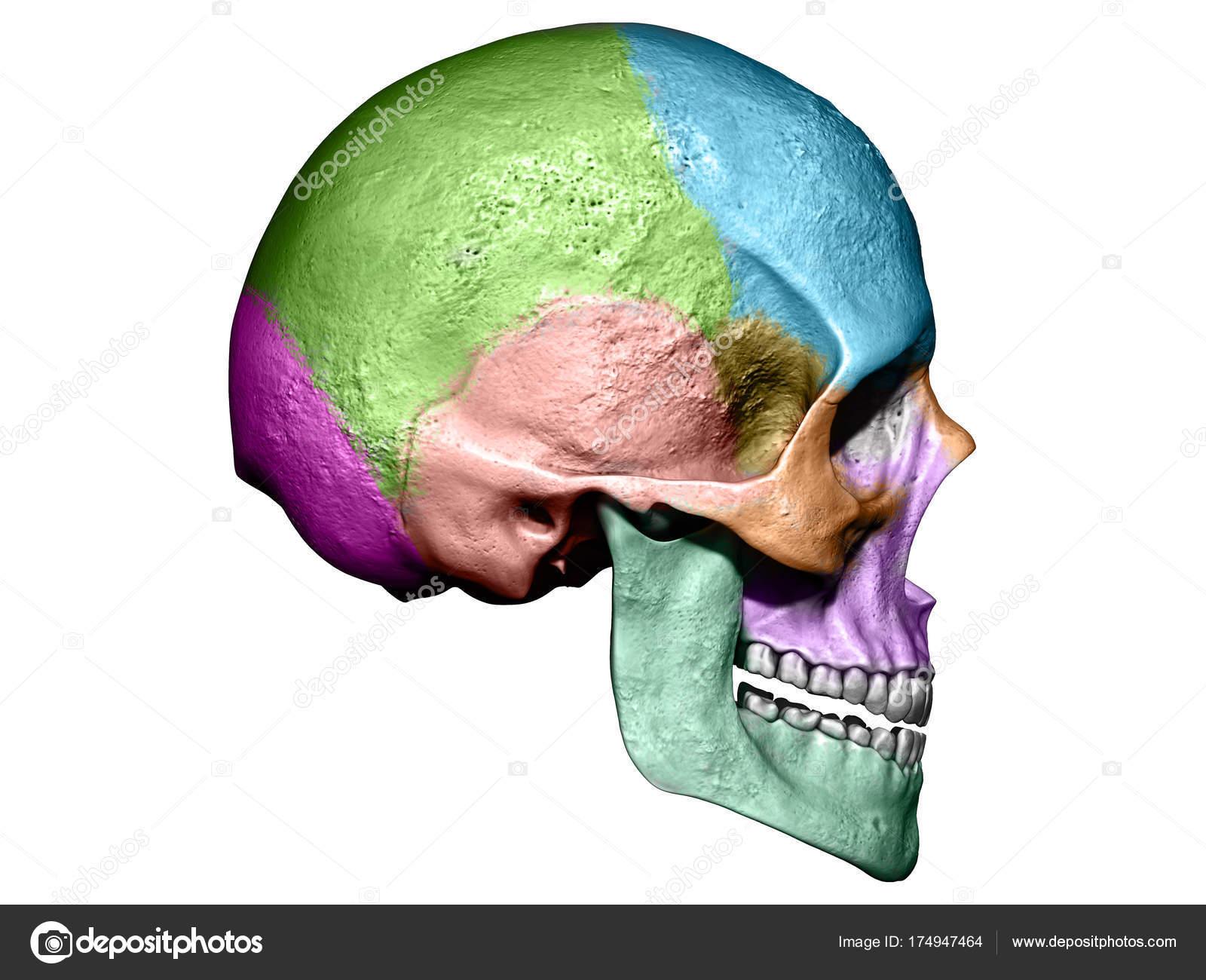 Anatomía Del Cráneo Humano Con Ilustración Render Colores — Foto de ...