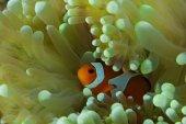 halak, anemone hosting