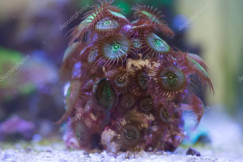 palythoa button coral