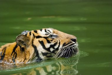 malayan tiger swimming , endangered species