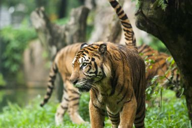 malayan tiger , endangered species