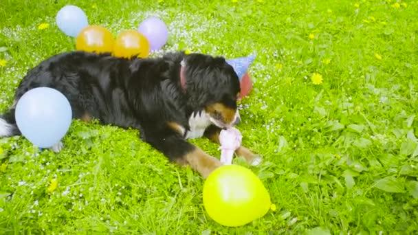A dog in festive cap eating a bone