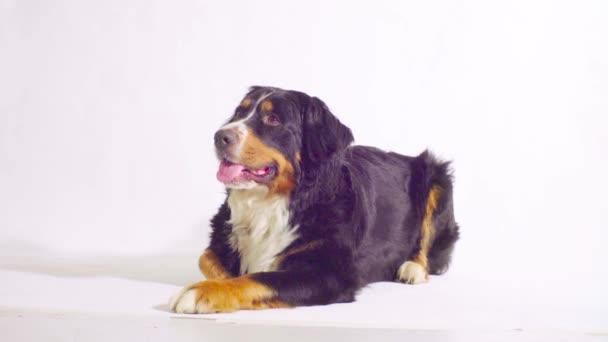 Berner Schäferhund liegt und schaut sich um