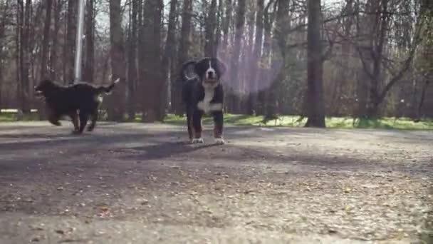 Berner Schäferhundewelpen laufen in einem Park