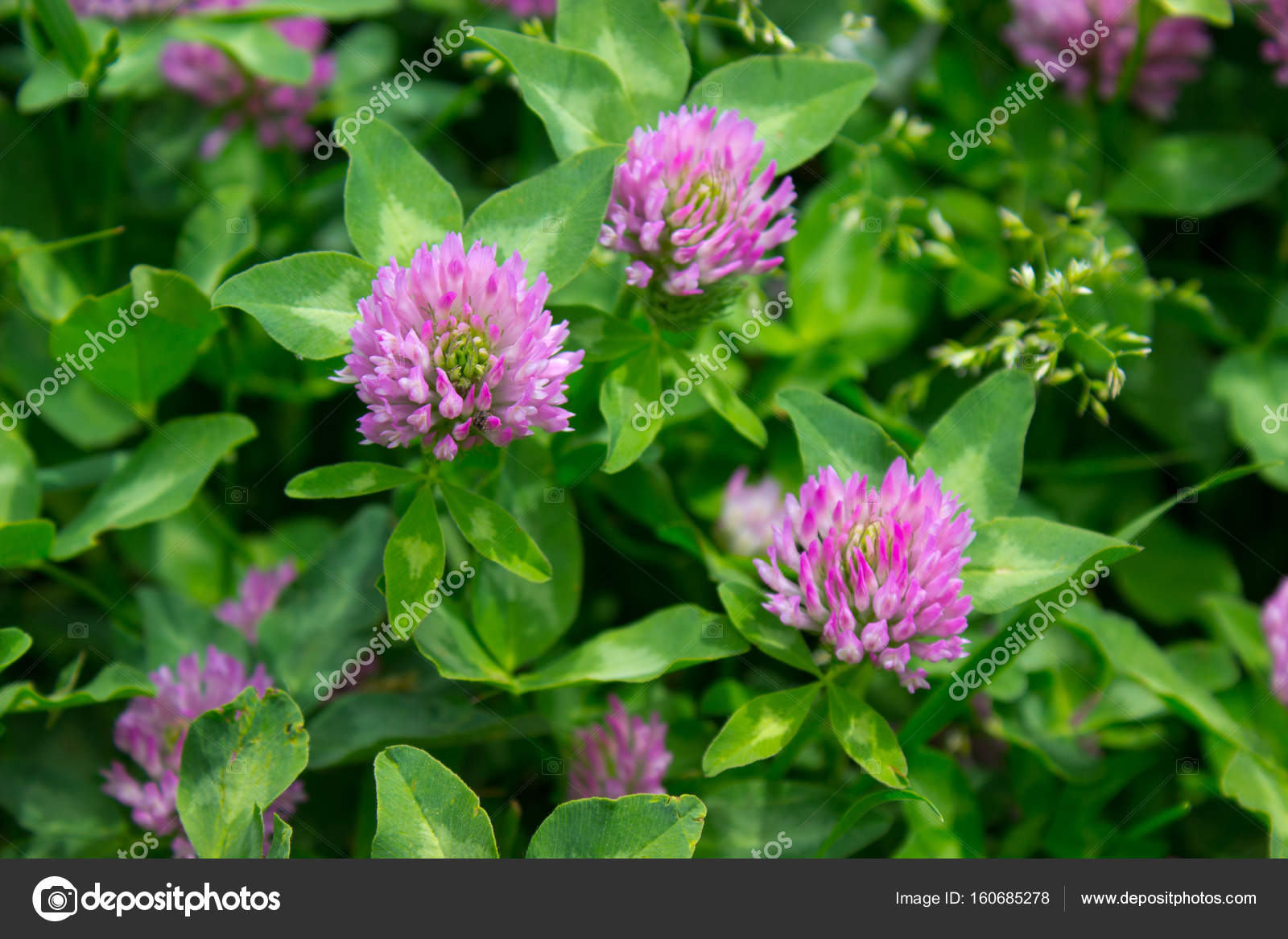 Pink Clover Flowers Stock Photo Tallisman 160685278