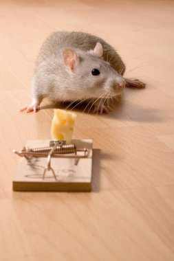 Mouse Trap, Rat and Cheese in Mousetrap