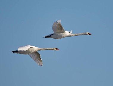 Swans flying against blue sky