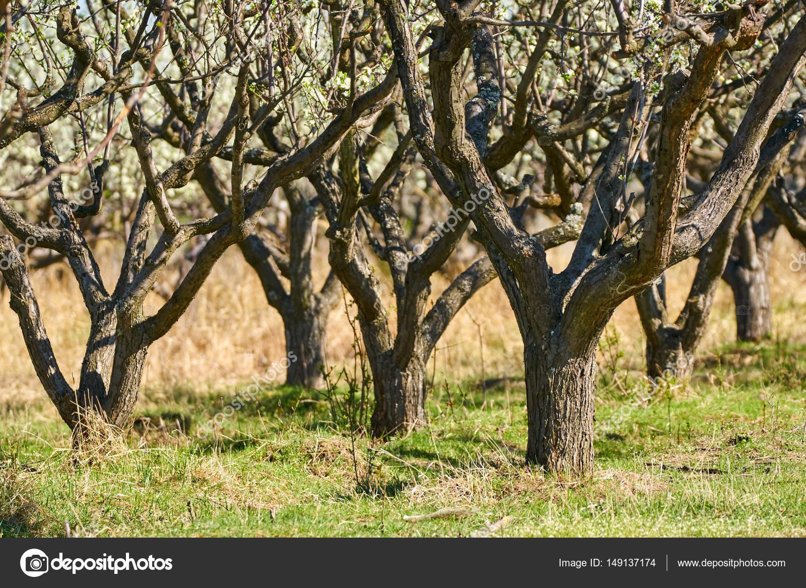 Plum trees garden — Stock Photo © Xalanx #149137174