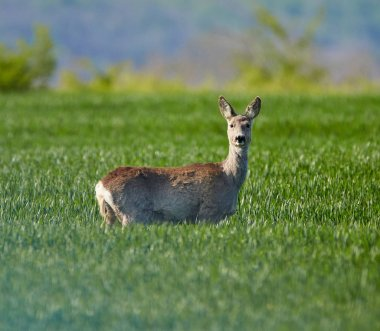 Roebuck on wheat field
