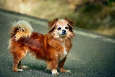 Pekingese dog outdoor