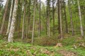 Fotografie Les smíšený stromů