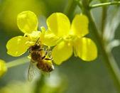 Fotografie Honeybee on canola flower